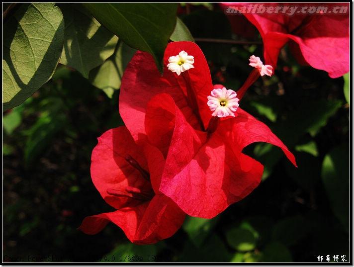 深圳的市花叫簕杜鹃,又叫三角梅